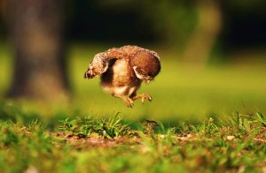 Reckless+Abandon,+photo+by+Peter+Brannon+(A+baby+owl+learning+to+fly)