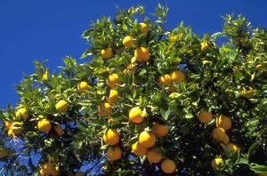 oranges-52