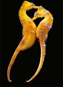 Longsnout seahorse picture
