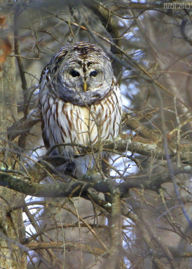Barred Owl in Basking Ridge, NJ. Photo courtesy of Matt Zeitler, orangebirding.com