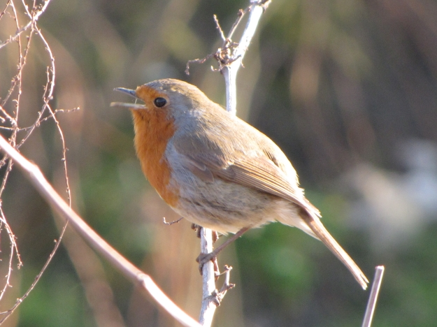 European_Robin_Singing-1