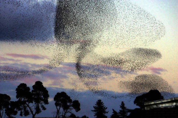 Swarms-and-starling-murmuration
